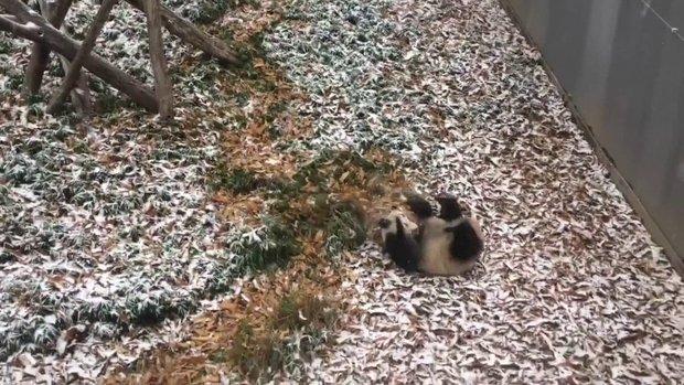 Sosyal medyada çok izlenenler arasına giren panda