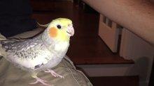 Apple zil sesini taklit eden papağan