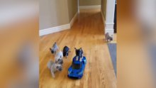 Sevimli köpeklerin oyuncak arabayla imtihanı