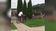 Bisikletle kaplanı kovaladı