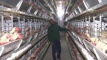 """Cezaevinin """"gezen tavukları""""na tüketici ilgisi"""
