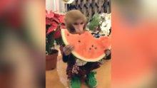 Karpuz yiyen maymun