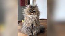 Tüyleri diken diken olmuş kedinin komik hali
