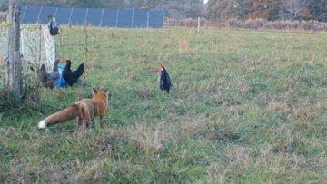 Tavuk hırsızı tilki güvenlik kamerasında
