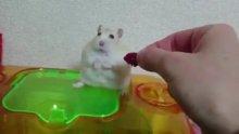 Yemeğiyle oynarken hamsterı küstürdü