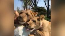 İnsan dostlarını özleyip koşa koşa sarılan aslanlar