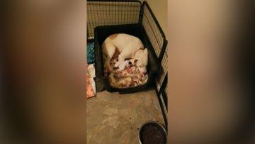 Yavrularını kaybeden köpeğin oyuncaklara sarılıp yatması