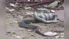 İki yılanın ölümüne kavgası