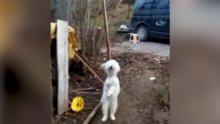 Kemençe sesine dayanamayan köpek