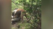 Pitonun yakaladığı köpeğin hayat mücadelesi