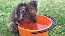 Koalanın su içerkenki sevimli hali