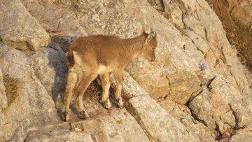 Öksüz yavru yaban keçisinin yaşam mücadelesi kameralara takıldı