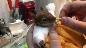 Yaralı sincabı tedavi ettikten sonra elleriyle besledi