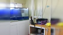 Sineği yakalamak isteyen kedi akvaryuma uçtu