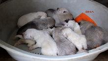 Anneleri zehirlenen 6 yavruya süt anne bulundu