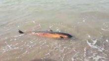 Ölü yunus kıyıya vurdu