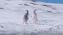 Mucizevi hayvanlar: Yaban tavşanı
