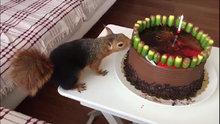 Sincap Alf'in meşe palamutlu doğum günü pastası!