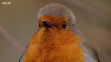 Küçük ama saldırgan kuş: Kızılgerdan