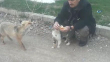 Tilki, kedinin ekmeğine ortak oldu