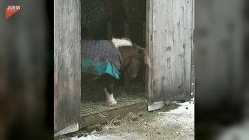 Kulubesinin eşiğinden atlamakta güçlük çeken atın sevimli halleri