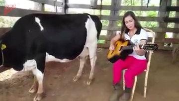Gitar çalarak süt sağdırdı