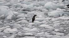 Bir penguenin yaşam mücadelesi