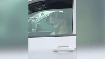 İnsan gibi bakış atan köpek