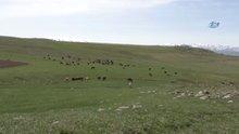 60 bin liraya çoban bulamıyorlar
