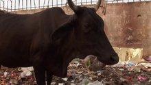 Hindistan'da plastikler ineklerin midesine nasıl giriyor?