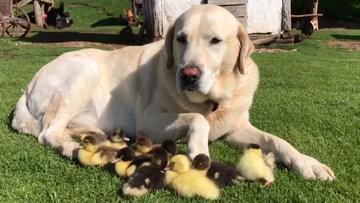 Ördeklere annelik yapan köpek