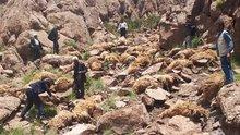 Önce biri atladı sonra diğerleri... 500 koyun intihar etti