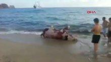 Alanya'da inek leşi sahile vurdu