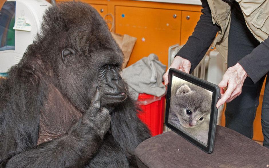 Son Dakika Haberi! İşaret dili ile konuşan Goril Koko öldü