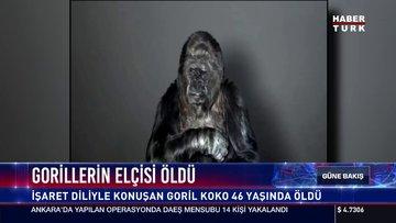 Gorillerin elçisi öldü
