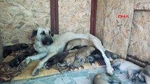 Sokak köpeği 'Leydi', 15 yavruya annelik yapıyor