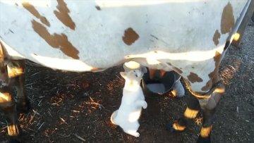 Sütü taze taze içen sevimli kedi