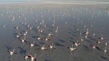 Tuz Gölü'nde flamingo şöleni