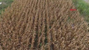 Cezaevi firarisi, saklandığı mısır tarlasında drone ile yakalandı