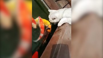 Balıklarla oynayan minnoş kedi