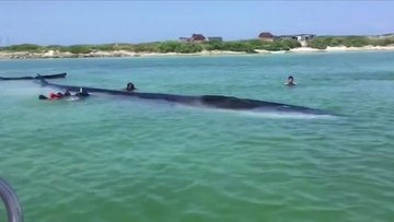 Kıyıya vuran 18 metrelik dev balinayı kurtarma anı