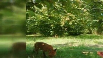 Fındık toplayan kadın karşısında tilkiyi görünce sohbete başladı
