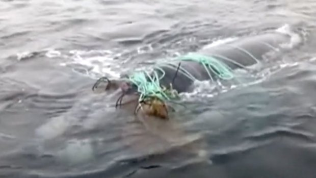 Balıkçı ağlarına takılan balina böyle kurtarıldı