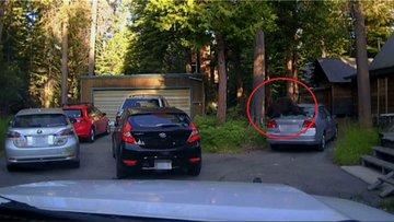 Şehre inen ayı arabada mahsur kaldı
