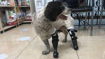 Bacakları kesilen köpek yürüyebilecek