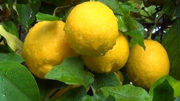 Limonun fiyatı can sıktı