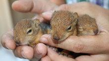 Fabrikadaki kütükten çıkan yavru sincaplar koruma altına alındı