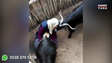 Köylü kadının keçileri sağarken gösterdiği sevgi sosyal medyayı salladı