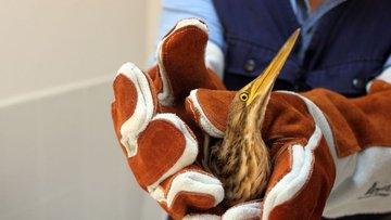 Bir eve Hint Balıkçıl kuşu girdi