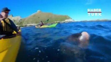 Yeni Zelanda'da fok balığının hareketi şoke etti!